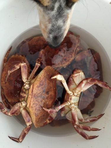 krabbe3